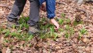 Muškarac (60) otišao u prirodu po sremuš, ali je ubrao biljku ubicu: Nesrećni čovek preminuo od trovanja mrazovcem