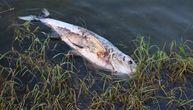 Pojavila se ogromna mrtva riba i zgrozila ljude na Adi: Svi se pitaju da li je kupanje opasno
