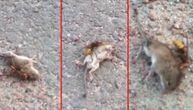 Stršljen je ubio pacova brutalnim napadom za tačno 60 sekundi (VIDEO)