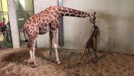 Beba žirafa napravila prve korake, a reakcija njene mame je dokaz iskrene ljubavi (VIDEO)