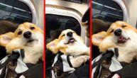 Maks je uspavani korgi i najviše voli da drema u gradskom prevozu