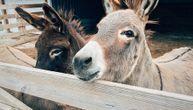 Otvoren prvi Muzej magaraca u regionu: Možete da ga posetite ako donesete kilogram šargarepa