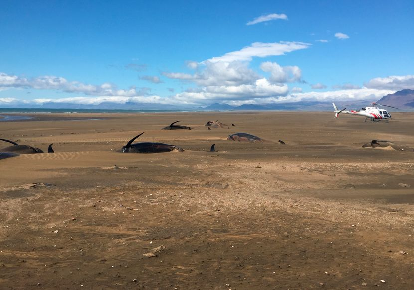 Kitovi mrtvi na Islandu