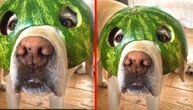 Pas lubeničar! Labrador našao način da se rashladi, ali i zasladi (VIDEO)