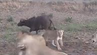 """Lavovi počeli da jedu bizona, pa se """"posvađali"""": Dok su se klali, plen im opušteno odšetao (VIDEO)"""