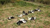 Tužan prizor 40 nastradalih ptica kod Paraćina: Strujni udar je bio koban za jato belih roda