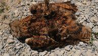 Struja ubila najveću i retku vrstu sove u Srbiji: Ptica pronađena na opasnom mestu (FOTO)