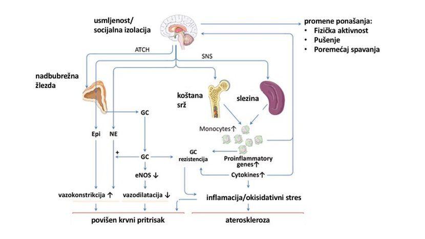grafikon usamljenost kardivaskularne bolesti