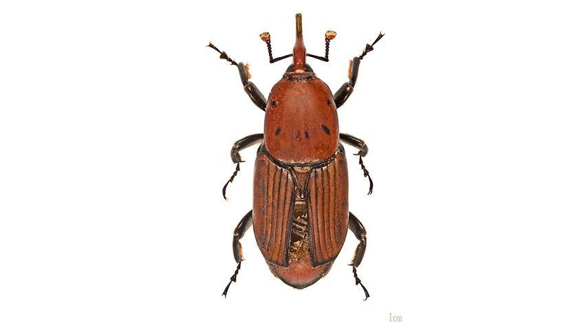 surlaš  buba insekt Rhynchophorus ferrugineus MHNT