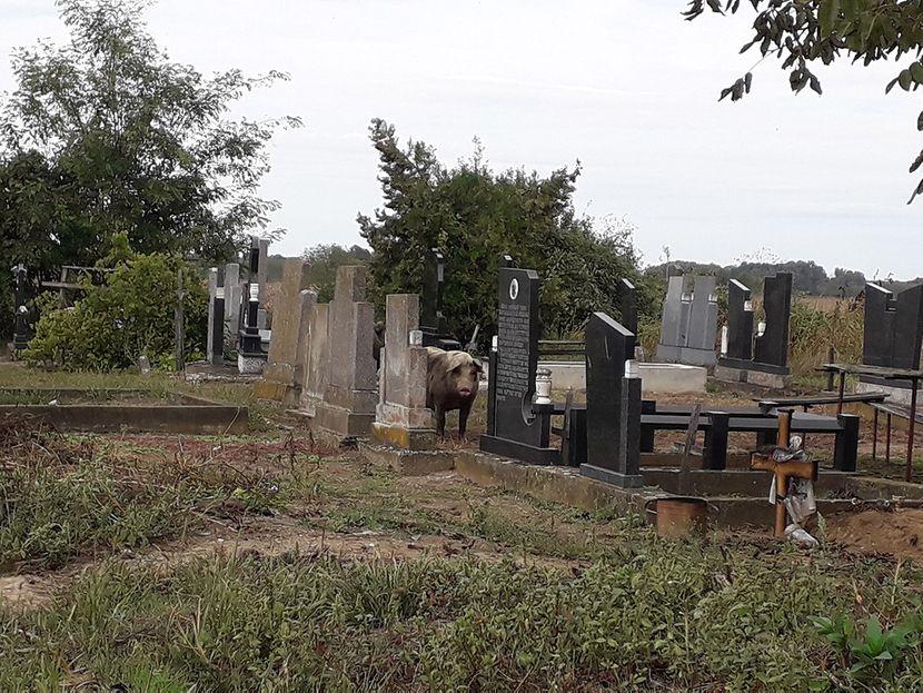 Svinje na groblju