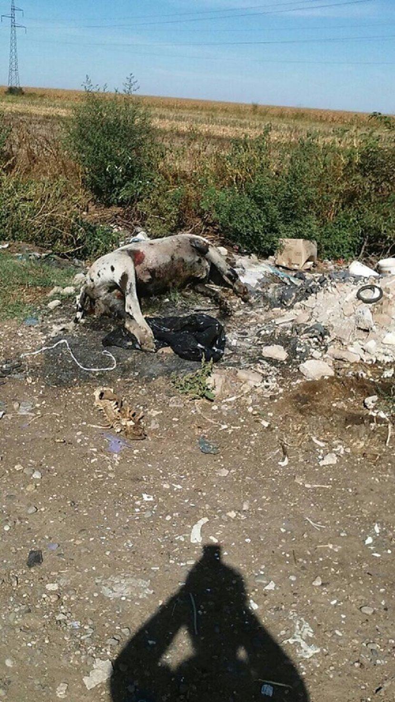 Mrtve svinje, Sremska Mitrovica, Laćarak