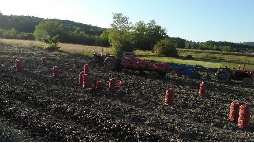 Dragačevski krompir, ljubičasti krompir