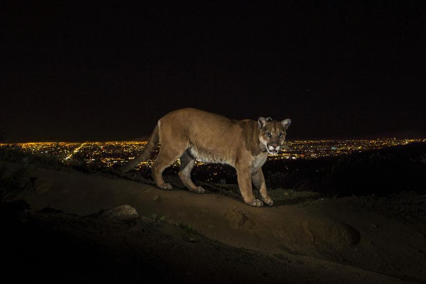 Foto: AP/Steve Winter, National Geographic