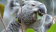 Koale su pred izumiranjem: Prošle godine na hiljade ih je umrlo zbog vrućine