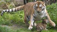 Preslatke divlje zverke: Sibirski tigrovi izgledaju neodoljivo na fotkama, ali ko bi se usudio da ih pomazi?