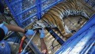 Tigar u ruskom cirkusu se onesvestio usred nastupa: Preselo mu skakanje kroz vatrene obruče (VIDEO)