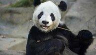 Panda iz bečkog zoološkog vrta je prava atrakcija: Zna da slika, a njena umetnička dela se prodaju za 490 evra (VIDEO)