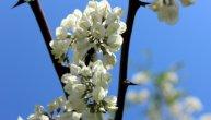 Morate probati: Cvet bagrema odličan je kao čaj, ali je još lepši u palačinkama