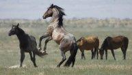 DIVLJI I RAZUZDANI: Ovako konji uživaju na slobodi