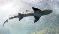 Ajkula ubila plivača nedaleko od plaže na Havajima