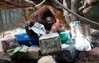 Orangutan Nenete